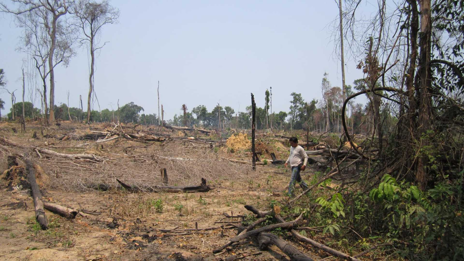 A Cambodian man walking through the remains of a destroyed patch of tropical rainforest.